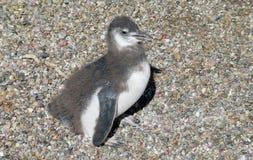 Μικρό χαριτωμένο penguin Στοκ φωτογραφία με δικαίωμα ελεύθερης χρήσης