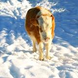 μικρό χιόνι ταύρων Στοκ φωτογραφία με δικαίωμα ελεύθερης χρήσης