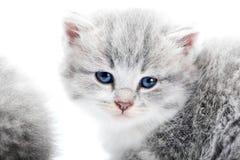 Μικρό χνουδωτό μπλε-eyed λατρευτό γκρίζο γατάκι που φαίνεται ευθύ στη κάμερα θέτοντας στο άσπρο στούντιο για το photoset Στοκ φωτογραφία με δικαίωμα ελεύθερης χρήσης
