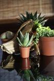Μικρό Aloe Βέρα Στοκ φωτογραφία με δικαίωμα ελεύθερης χρήσης