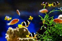 Μικρό anemonefish Στοκ φωτογραφίες με δικαίωμα ελεύθερης χρήσης