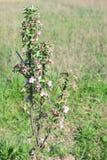 Μικρό Apple-δέντρο στο άνθος Στοκ φωτογραφία με δικαίωμα ελεύθερης χρήσης