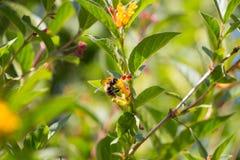 Μικρό bumblebee με το κίτρινο αγιόκλημα Στοκ φωτογραφίες με δικαίωμα ελεύθερης χρήσης