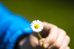 Μικρό camomile υπό εξέταση σε ένα μπλε υπόβαθρο Στοκ Φωτογραφίες
