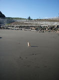 Μικρό chihuahua στην παραλία Στοκ Φωτογραφία