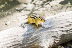 Μικρό chipmunk που σκαρφαλώνει στο μεγάλο κούτσουρο που ανατρέχει Στοκ Φωτογραφίες