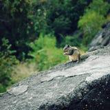 Μικρό chipmunk που τρώει κάτι ηλικίας φωτογραφία Στοκ Φωτογραφία