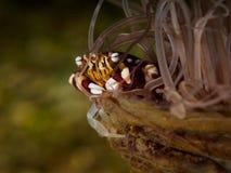 Μικρό clab στο anemone Στοκ Εικόνες
