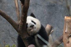 Μικρό Cub της Panda είναι καταψύχοντας έξω, Κίνα στοκ εικόνα με δικαίωμα ελεύθερης χρήσης