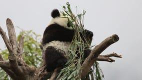 Μικρό Cub της Panda είναι καταψύχοντας έξω, Κίνα απόθεμα βίντεο
