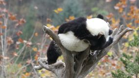 Μικρό Cub της Panda στο δέντρο, Κίνα φιλμ μικρού μήκους