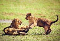 Μικρό cubs λιονταριών παιχνίδι. Τανζανία, Αφρική Στοκ Εικόνα