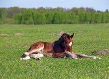 Μικρό foal κόλπων σε έναν πράσινο χορτοτάπητα Στοκ Φωτογραφία