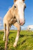 Μικρό foal Στοκ Εικόνα