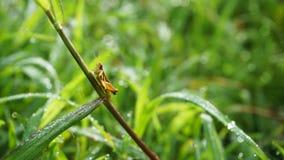 Μικρό grasshopper στο φύλλο χλόης Στοκ εικόνα με δικαίωμα ελεύθερης χρήσης