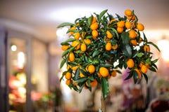 Μικρό lushy δέντρο λεμονιών με τα κίτρινα λεμόνια στο δοχείο Στοκ φωτογραφίες με δικαίωμα ελεύθερης χρήσης