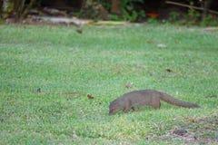 Μικρό mongoose Javan στα Φίτζι στοκ φωτογραφία με δικαίωμα ελεύθερης χρήσης