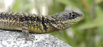 Μικρό oreadicus Tropidurus σαυρών Στοκ φωτογραφία με δικαίωμα ελεύθερης χρήσης