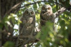 2 μικρό Owlets Στοκ Εικόνες