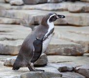 Μικρό penguin Στοκ εικόνα με δικαίωμα ελεύθερης χρήσης