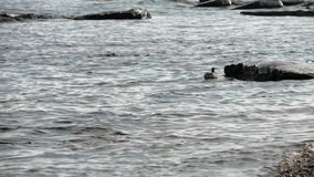 Μικρό seagull επιπλέει κοντά στην ακτή και βουτά κοντά στο βράχο Παγωμένοι βράχοι και ακτή απόθεμα βίντεο