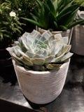 Μικρό Succulents που εξωραΐζει το σπίτι κήπων σας στοκ φωτογραφίες