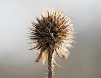 Μικρό teasel κεφάλι σπόρου pilosus Dipsacus το χειμώνα Στοκ Εικόνα