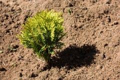 Μικρό thuja στο ξηρό χώμα Στοκ φωτογραφία με δικαίωμα ελεύθερης χρήσης