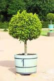 Μικρό topiary δέντρο στο δοχείο Στοκ Εικόνα