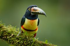 Μικρό toucan πιαμένο Aracari, torquatus Pteroglossus, πουλί με το μεγάλο λογαριασμό Συνεδρίαση Toucan στον κλάδο στο δάσος, Boca  Στοκ Εικόνες