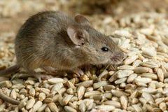Μικρό vole κινηματογραφήσεων σε πρώτο πλάνο ποντίκι που κρύβεται στο σωρό του σιταριού της σίκαλης στην αποθήκη εμπορευμάτων στοκ εικόνες