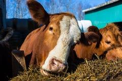 Μικτά βοοειδή φυλής Στοκ εικόνα με δικαίωμα ελεύθερης χρήσης