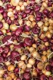 Μικτά κρεμμύδια στοκ φωτογραφία με δικαίωμα ελεύθερης χρήσης