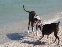 Μικτά σκυλιά πίτμπουλ φυλής που παίζουν τη σύγκρουση σε μια παραλία της Φλώριδας απόθεμα βίντεο