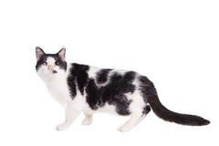 Μικτή τυφλή γάτα φυλής στο λευκό στοκ εικόνες με δικαίωμα ελεύθερης χρήσης