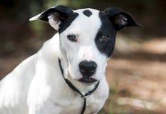 Μικτή φωτογραφία υιοθέτησης κατοικίδιων ζώων σκυλιών φυλής δεικτών μπουλντόγκ mutt στοκ εικόνες με δικαίωμα ελεύθερης χρήσης