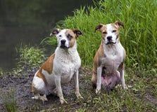 Μικτός μπόξερ φυλής, Retriever του Λαμπραντόρ, σκυλιά πίτμπουλ Στοκ Εικόνα