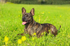 μικτός σκυλί ποιμένας κόλλεϊ διασταύρωσης συνόρων του Βελγίου Στοκ Φωτογραφίες