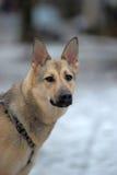 Μικτό γερμανικό σκυλί ποιμένων Στοκ φωτογραφία με δικαίωμα ελεύθερης χρήσης