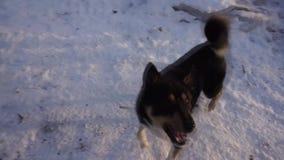 Μικτό ενεργητικό παιχνίδι σκυλιών φυλής με τους ανθρώπους στο Μούρμανσκ απόθεμα βίντεο