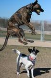 Μικτό σκυλί διασταύρωσης που πηδά με τη σφαίρα Στοκ εικόνα με δικαίωμα ελεύθερης χρήσης