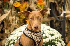 Μικτό σκυλί φυλής με τις διακοσμήσεις φθινοπώρου στοκ εικόνα
