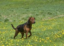 Μικτό σκυλί φυλής μπόξερ ποιμένας Στοκ Εικόνες