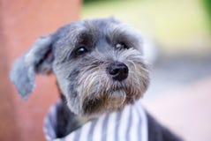 Μικτό σκυλί φυλής που φορά την εστίαση bandana στη μύτη σκυλιών στοκ φωτογραφία