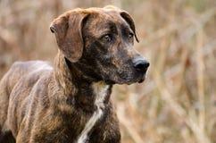 Μικτό σκυλί φυλής Plott κυνηγόσκυλο Στοκ Φωτογραφία