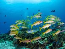 Μικτό σχολείο των κίτρινων ψαριών σκοπέλων στο εθνικό πάρκο Komodo Στοκ εικόνες με δικαίωμα ελεύθερης χρήσης