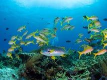 Μικτό σχολείο των κίτρινων ψαριών σκοπέλων στο εθνικό πάρκο Komodo Στοκ Φωτογραφίες