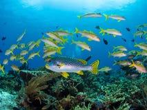 Μικτό σχολείο των κίτρινων ψαριών σκοπέλων στο εθνικό πάρκο Komodo Στοκ Εικόνες