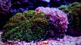Μικτό τριχωτό κοράλλι μανιταριών Rhodactis saltwater στη δεξαμενή ενυδρείων σκοπέλων στοκ φωτογραφία