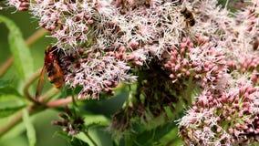 Μιμητικές hoverfly και μέλισσες Hornet στο ιερό σχοινί Στοκ εικόνες με δικαίωμα ελεύθερης χρήσης